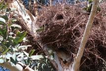 Kanarienvögel beim Nestbau