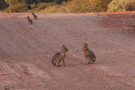 Mara-Familie im Parque Nacional Sierra de las Quijadas, Zentralargentinien